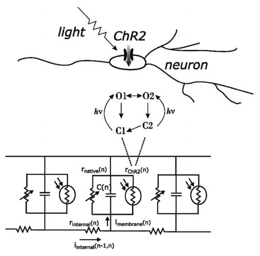 Modeling Study of the Light Stimulation