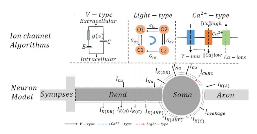 Optogenetics in Silicon: A Neural Processor for Predicting Optically Active Neural Networks