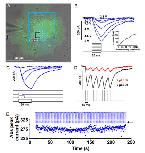 Arrays of MicroLEDs and Astrocytes: Biol