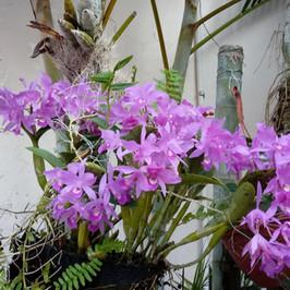 コスタリカ国の欄の花