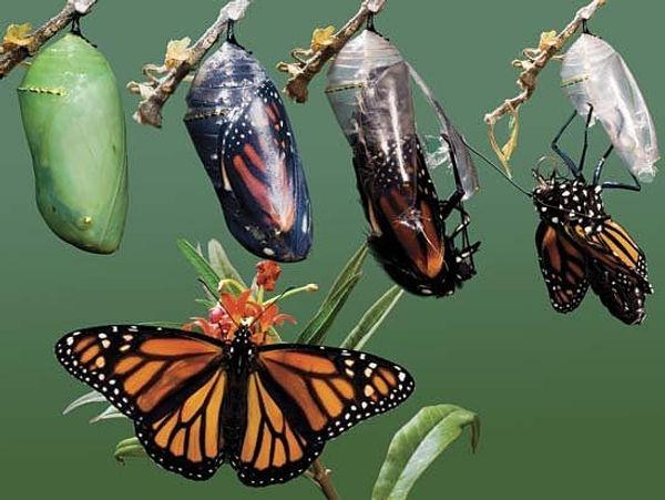 butterfly-pupae.jpg