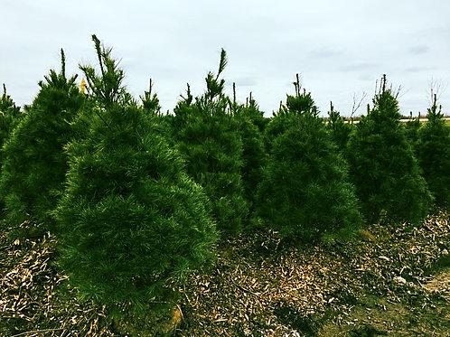 White Pine 5'