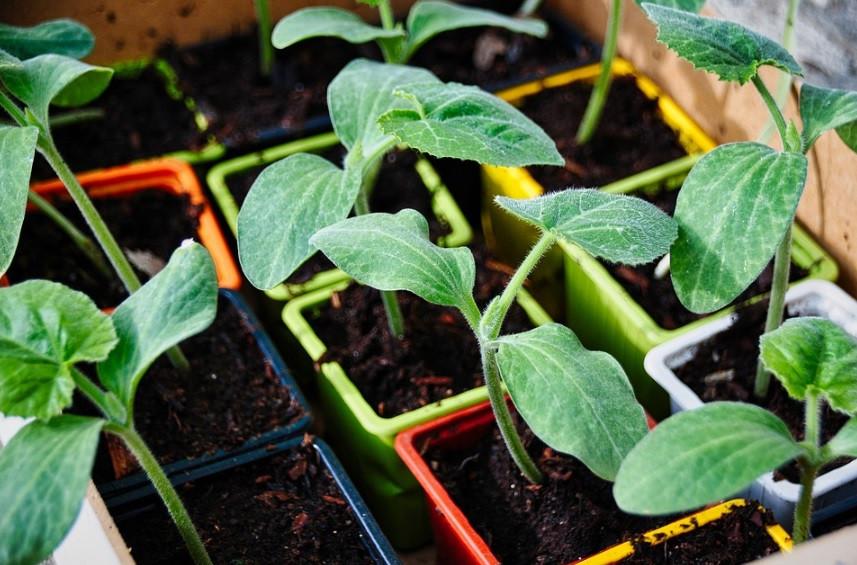 Recipientes de iogurte para semear mudas da horta | Foto Pixabay