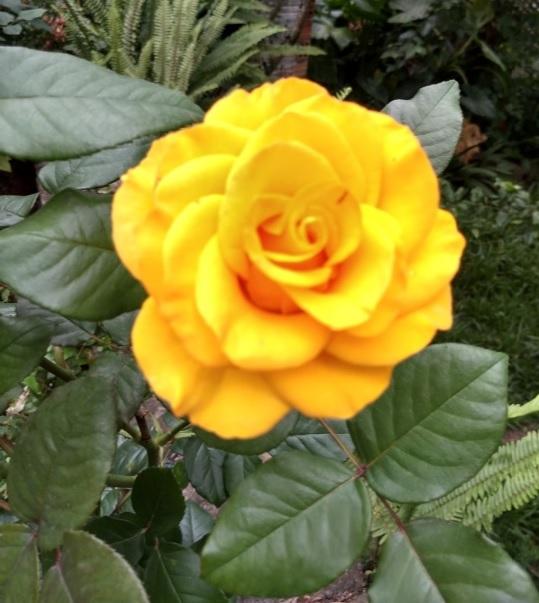 Rosa amarela | Foto Robriane Lara ©