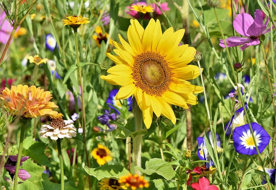 Canteiro com girassol e outras flores coloridas | Foto Pixabay