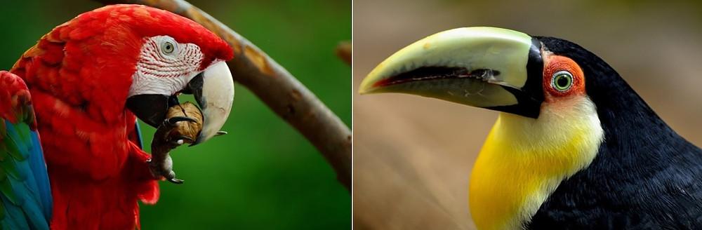 Aves da Amazônia, Arara-vermelha e Tucano-de-peito-amarelo | Foto Pixabay