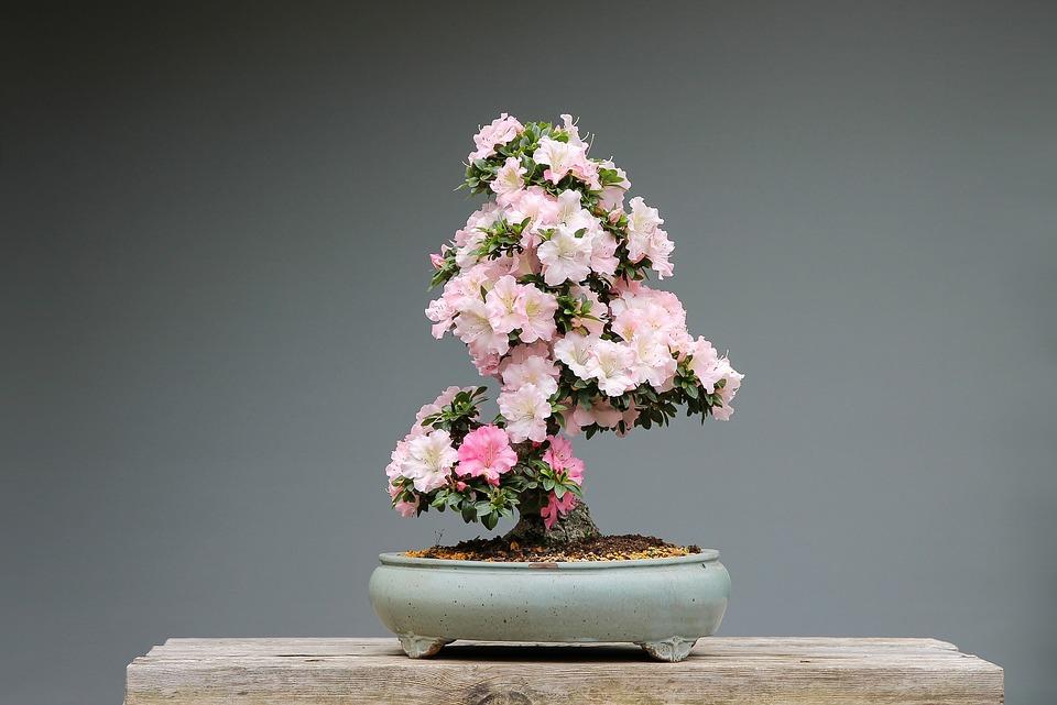 Bonsai Florido em vaso cerâmico | Foto Pixabay