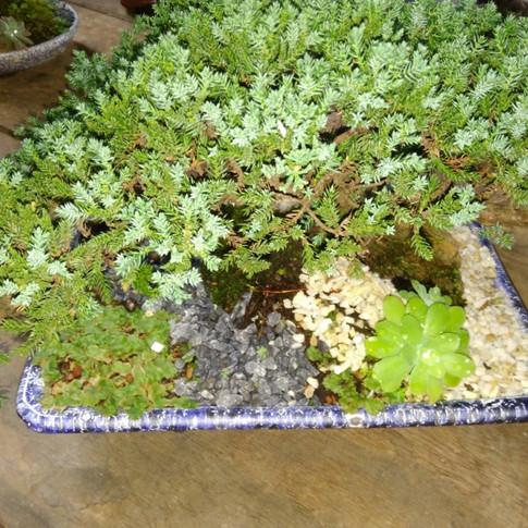 Bonsai Juniperus_10 anos