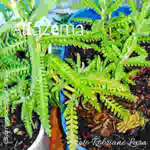 Horta em vasos reciclados: alfazema| Foto Robriane Lara ©