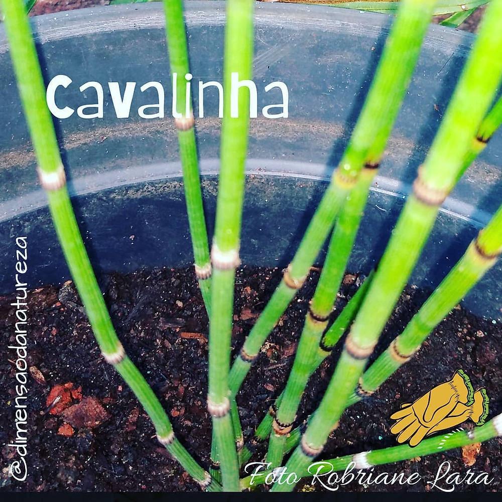 Horta em vasos reciclados: cavalinha| Foto Robriane Lara ©