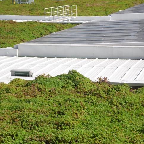 Telhado Verde | Planta Boldo
