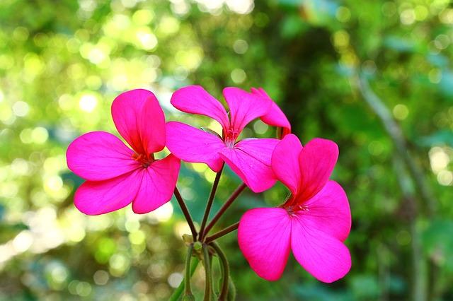 Gerânio | Foto Pixabay