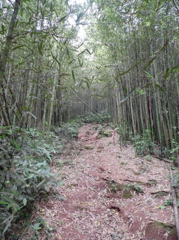 © Caminho entre bambus | Foto de Robriane Lara