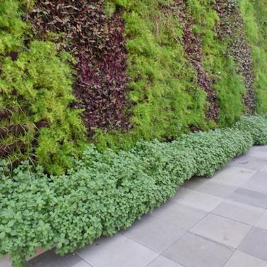 Jardim Vertical | Aspargo | Boldo | Lambari