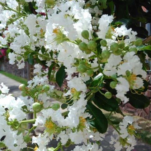 Flor da Estremosa Branca