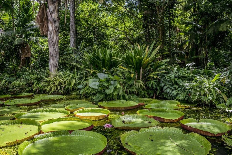 Planta aquática Vitória-régia | Foto Pixabay