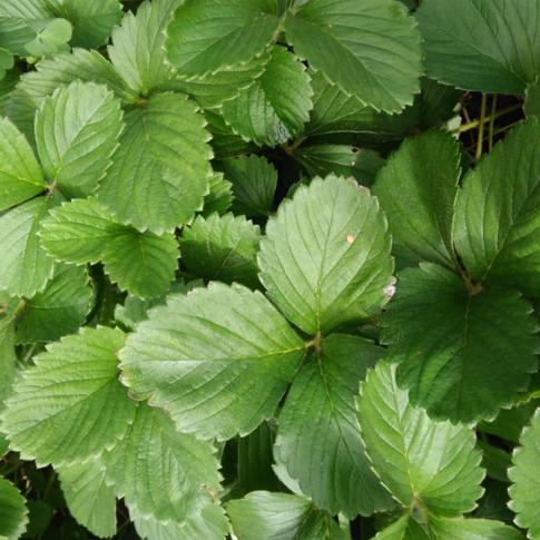 Folhas do Morango