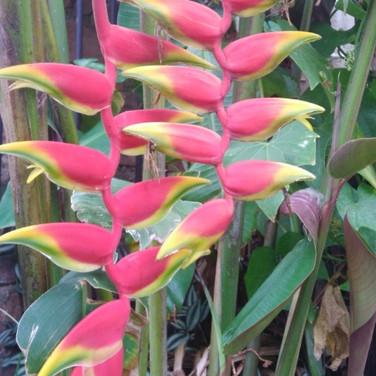 Bananeira ornamental