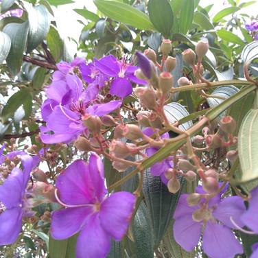 Flor da Quaresmeira