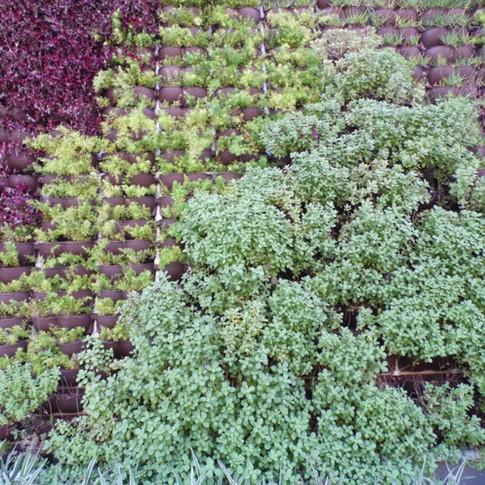 Jardim Vertical | Trapoeraba-roxa | Aspargo | Boldo
