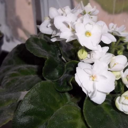 Violeta branca