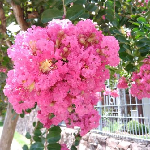 Flor da Estremosa Rosa