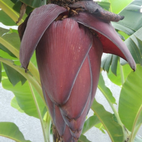 Broto da Bananeira