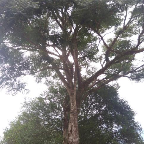 Árvore de grande porte