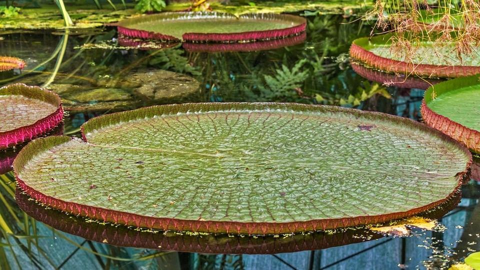 Rio Amazonas – Planta aquática Vitória-régia | Foto Pixabay
