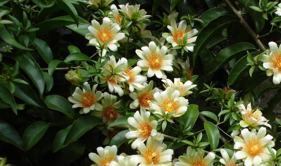 Floração da Planta Comestível Ora-pro-nobis