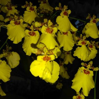 Orquídea Chuva-de-ouro