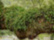 Epífetas | Catálogo de Plantas do Site Dimensão da Natureza