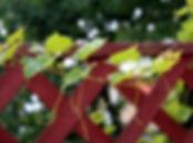 Plantas Trepadeiras   Catálogo de Plantas do Site Dimensão da Natureza