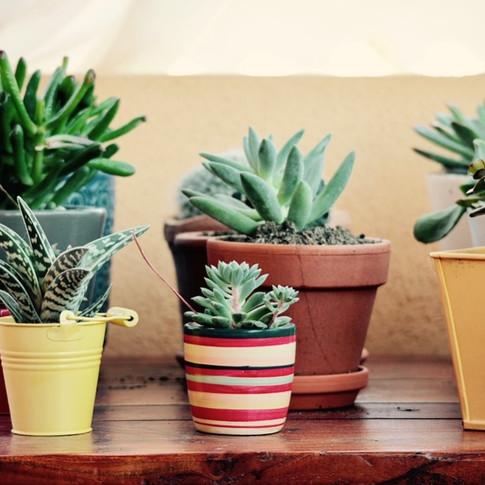 Suculentas em vasos de diversos tamanhos