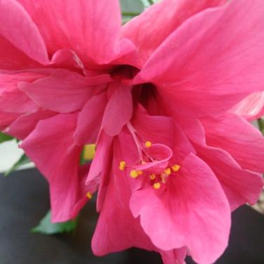 Flor do Hibisco