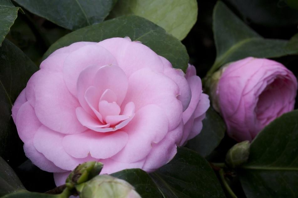 Flor da Camélia   Foto Pixabay