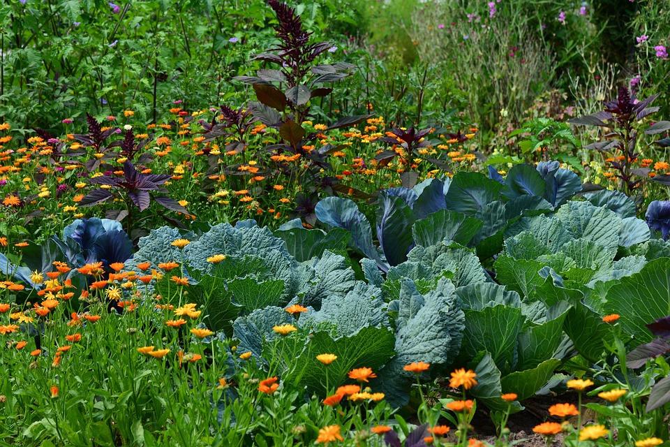 Horta com mudas de couve, manjericão roxo e flores | Foto Pixabay
