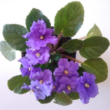 Violeta, Violeta-africana