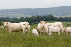 Charolais cattle on the farm