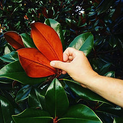 DD Blanchard Magnolia. Glossy green leav