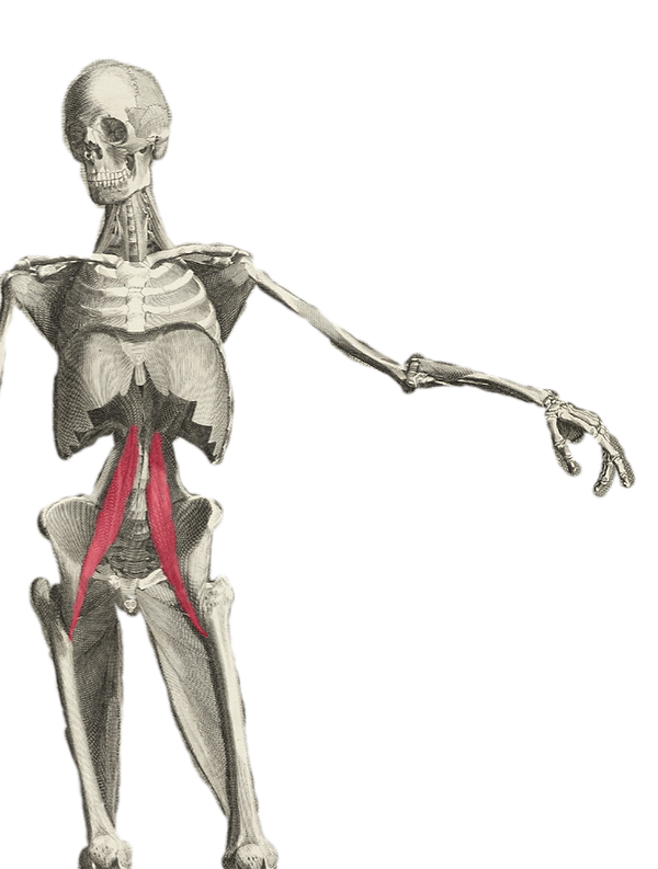 Albinus_deep-front-line-with-psoas-highl