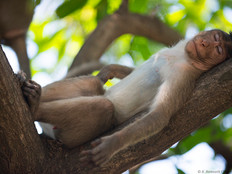 Sleeping Bonnet Macaque.jpg
