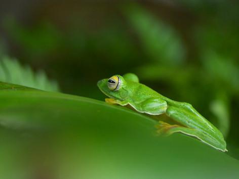 Malabar gliding frog in its habitat.jpg