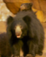 Sloth bear and cub.jpg