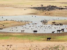 Pelicans and domestic cattle.jpg
