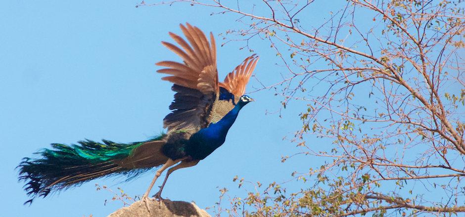 Peafowl flying.jpg