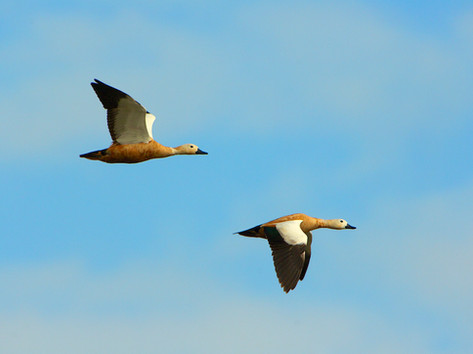 Ruddy shelducks flying.jpg