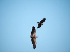 Kite mobbing sea eagle.jpg