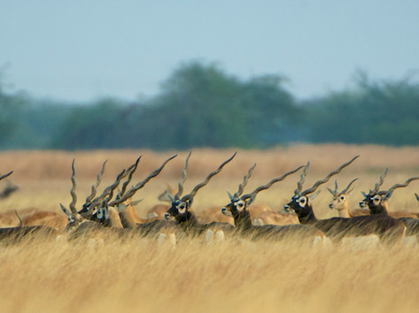 Grazing blackbucks.jpg