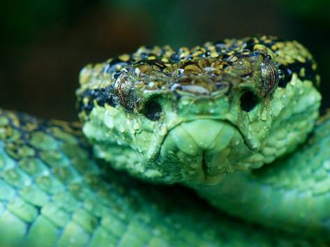 Malabar pit viper face.jpg